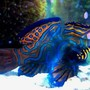 saltwater fish - synchiropus splendidus - green mandarin stocking in 70 gallons tank - My Mandarin Dragonet