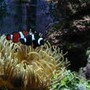 saltwater fish - amphiprion ocellaris var. - black and white ocellaris clownfish stocking in 120 gallons tank - Clowns with anemone