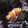 saltwater fish - amphiprion ocellaris - ocellaris clownfish stocking in 55 gallons tank - my clown fish