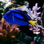 saltwater fish - paracanthurus hepatus - blue tang stocking in 105 gallons tank - Blue Hippo