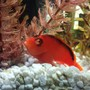 saltwater fish stocking in 40 gallons tank - My Flame Hawkfish