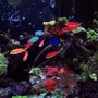 saltwater fish - pseudanthias dispar - dispar anthias stocking in 150 gallons tank - School of Dispar Anthias