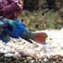 saltwater fish - synchiropus splendidus - green mandarin stocking in 72 gallons tank - Mandarin Goby