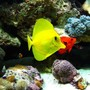 saltwater fish - zebrasoma flavescens - yellow tang - hawaii stocking in 110 gallons tank - after going through 4 yellow tangs, this one is by far the healthiest one i have ever seen. i reccomend the garlic algea dry flakes, they go crazy for it