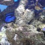 saltwater fish - paracanthurus hepatus - blue tang stocking in 200 gallons tank - photo of my blue tang, my favorite fish