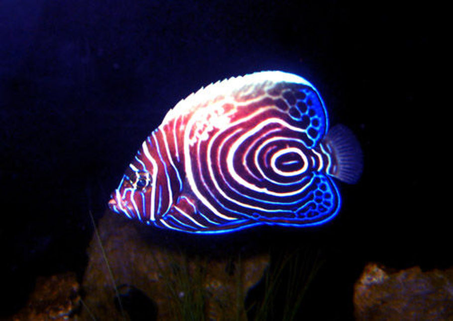 Imperator Angel Fish - took a pic of him at night when he was roaming around.  : )