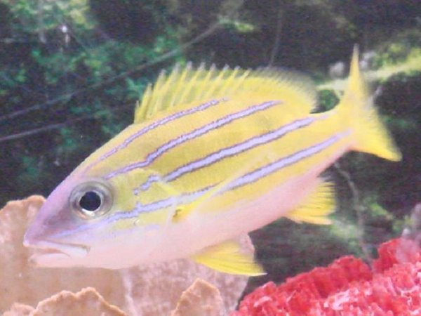 saltwater fish - lutjanus kasmira - bluestripe snapper stocking in 125 gallons tank - the snapper
