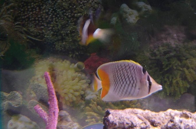 saltwater fish - chaetodon xanthurus - pearlscale butterfly stocking in 75 gallons tank - Pearlscale Butterfly and Clarkii