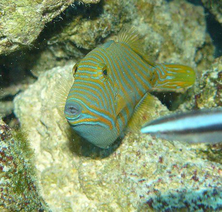 undulate triggerfish balistapus undulatus photos ratemyfishtank com