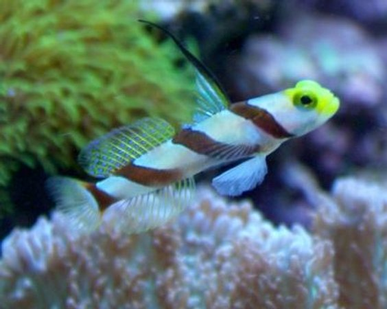 saltwater fish - stonogobiops nematodes - hi fin red banded goby stocking in 10 gallons tank - Hi-Fin Red Banded Goby aka Antenna Goby
