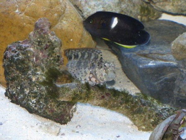 saltwater fish - centropyge tibicen - keyhole angelfish stocking in 110 gallons tank - keyhole angel and lawnmower blenny