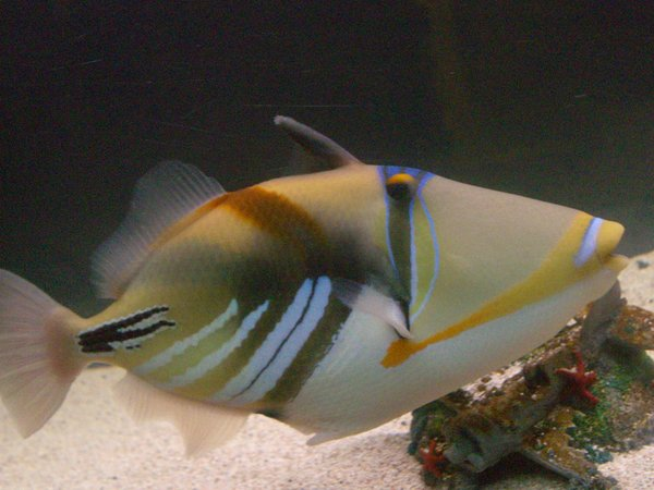 saltwater fish - rhinecanthus aculeatus - humu picasso triggerfish stocking in 125 gallons tank - Picasso Trigger Fish. She's very photogenic and I caught her at Diamond Head in Hawaii. She put up a good fight!
