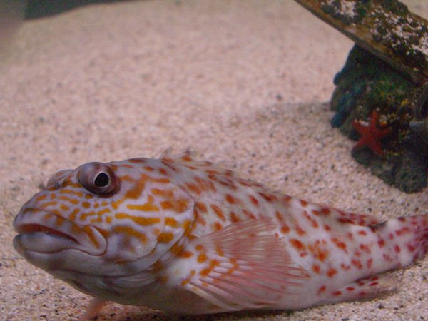 saltwater fish - cirrhitichthys aprinus - spotted hawkfish stocking in 125 gallons tank - Hawk Fish . Caught it with a hand line . 4 in long.