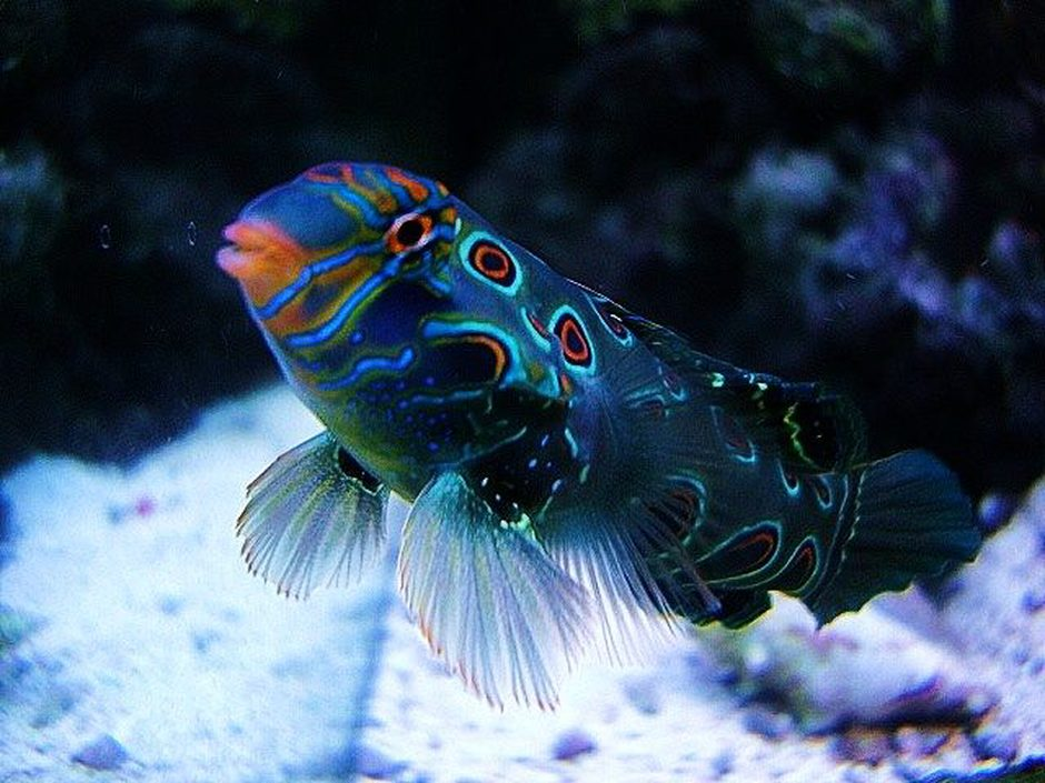 saltwater fish - synchiropus picturatus - spotted mandarin stocking in 40 gallons tank - Green Target Mandrine