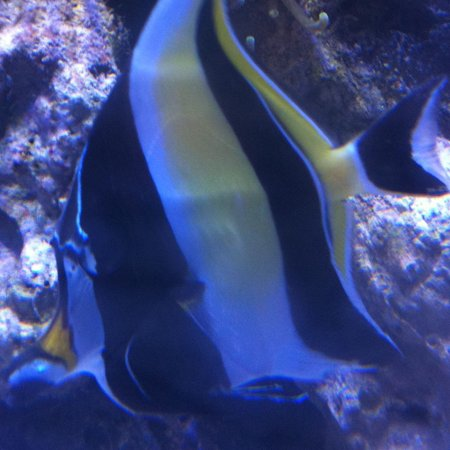 saltwater fish - zanclus canescens - moorish idol stocking in 210 gallons tank - my morish idol