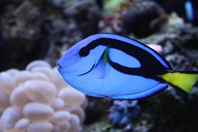 saltwater fish - paracanthurus hepatus - blue tang stocking in 65 gallons tank - HIPPIE