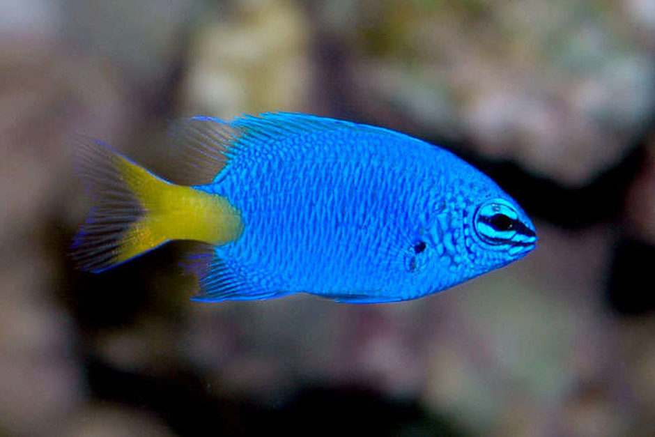 Yellowtail damselfish chrysiptera parasema photos for How to fish
