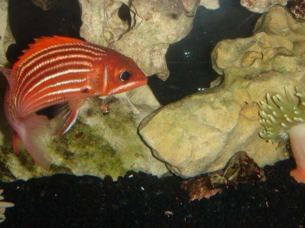 saltwater fish - lutjanus campechanus - red snapper stocking in 55 gallons tank - red snapper