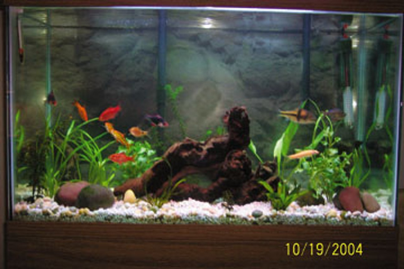 freshwater fish tank (mostly fish and non-living decorations) - 30 gl..2 g.t barb 2 gold barb 3 rosey barb 1 columbian tetra 1 algae eater 1 spanner barb 6 gl....10 neon 1 otto