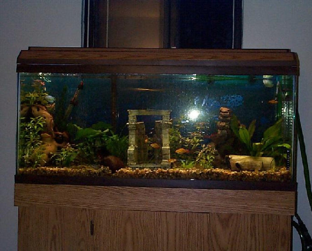 "55 gallons freshwater fish tank (mostly fish and non-living decorations) - 55 gallon tank, 8 neon tetras, 9 glow light tetras, 1 Pleco, 6 gold barbs, Mr. and Mrs. Krib, 2 male ""powder blue"" dwarf gouramis, 3(maybe) kuhli loaches, 1 female betta, 1 male blue ram, 3 small rams temporarily, hoping for one to be a female, I think one is:):):), and one adult ram rescued from bad store, almost missing a tail:("