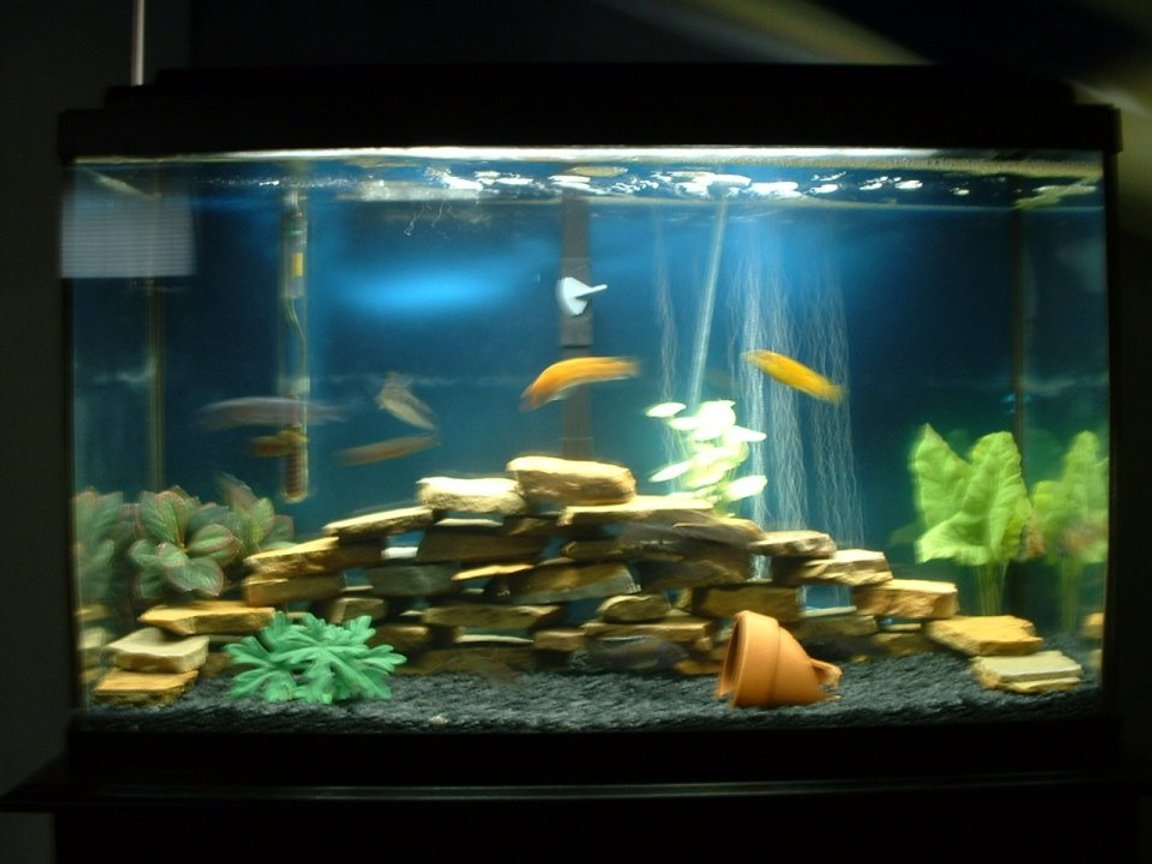 30 gallons freshwater fish tank (mostly fish and non-living decorations) - My first african cichlid tank! 30 gallon regular, african cichlid tank. Mixed african cichlids, clown loaches. Sorry its a little out of focus.