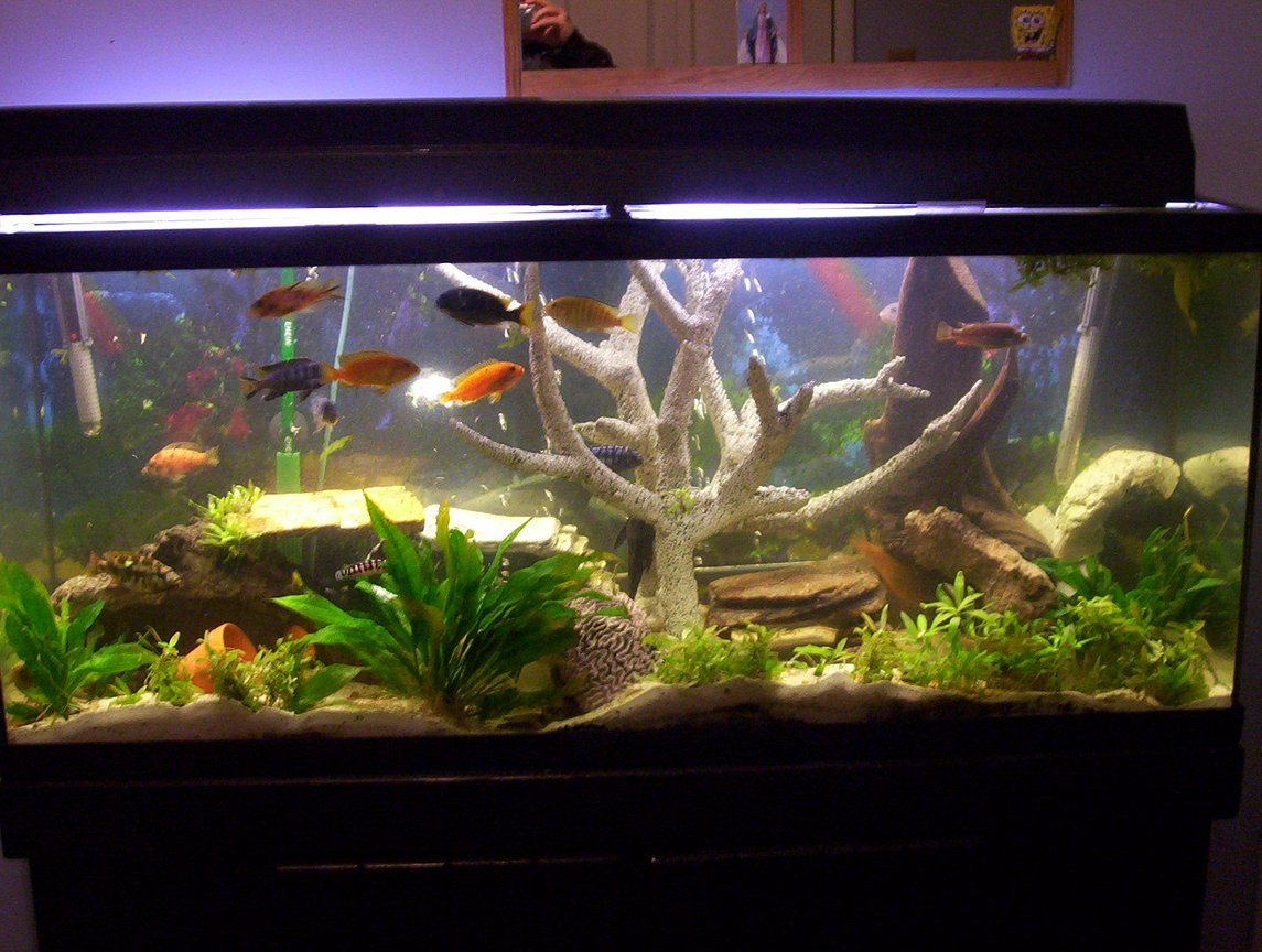 freshwater fish tank (mostly fish and non-living decorations) - 55 gallon mix cichlids tank!