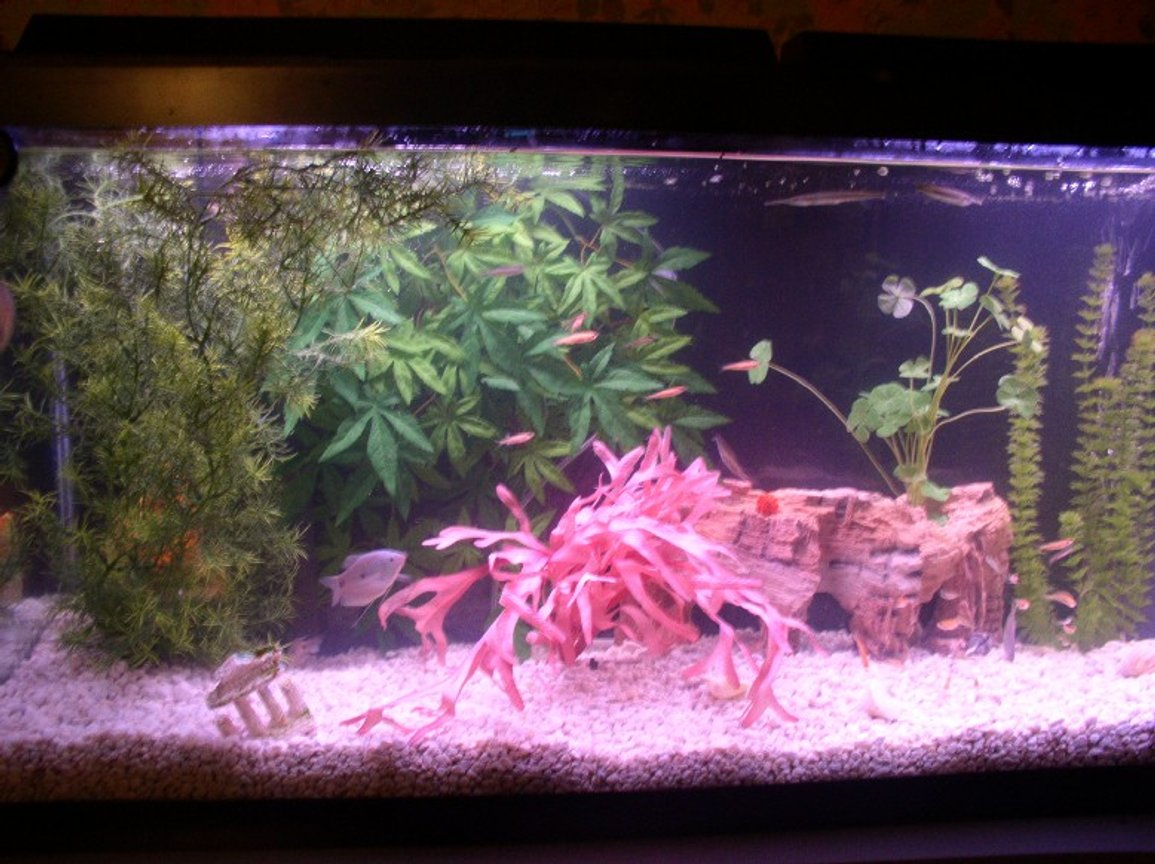 55 gallons freshwater fish tank (mostly fish and non-living decorations) - This is a far away photo of my freshwater 55 gallon tank, if you read my profile you will see the fish i have in it !!! hope you all like it!!!