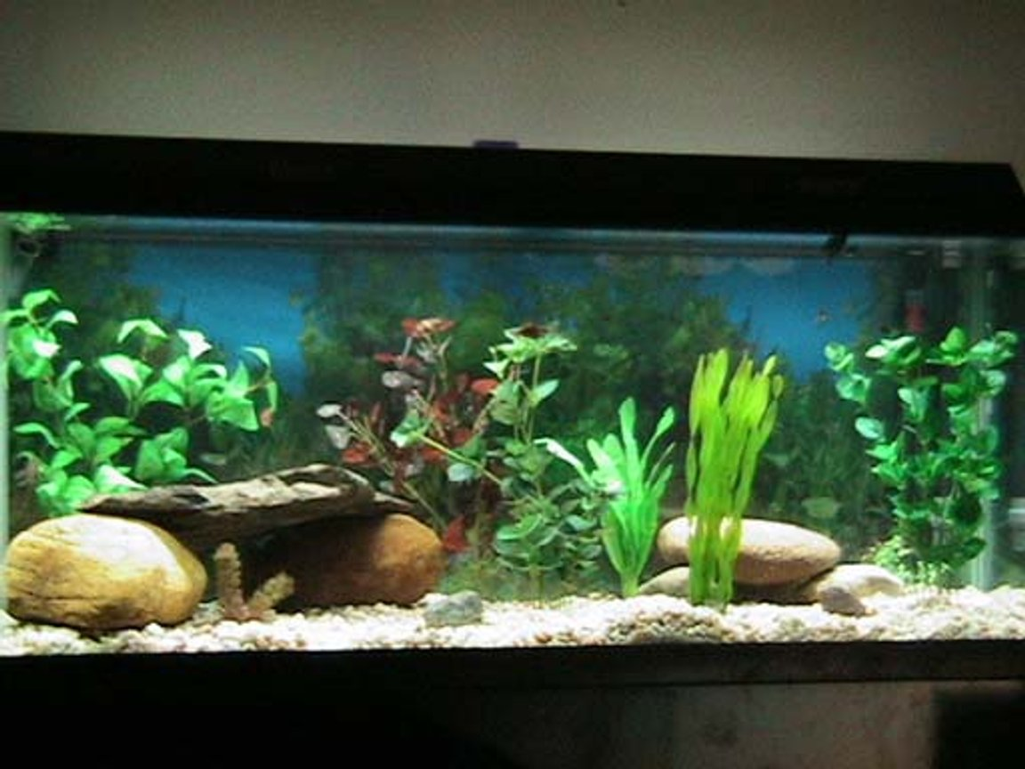 75 gallons freshwater fish tank (mostly fish and non-living decorations) - freshwater tank