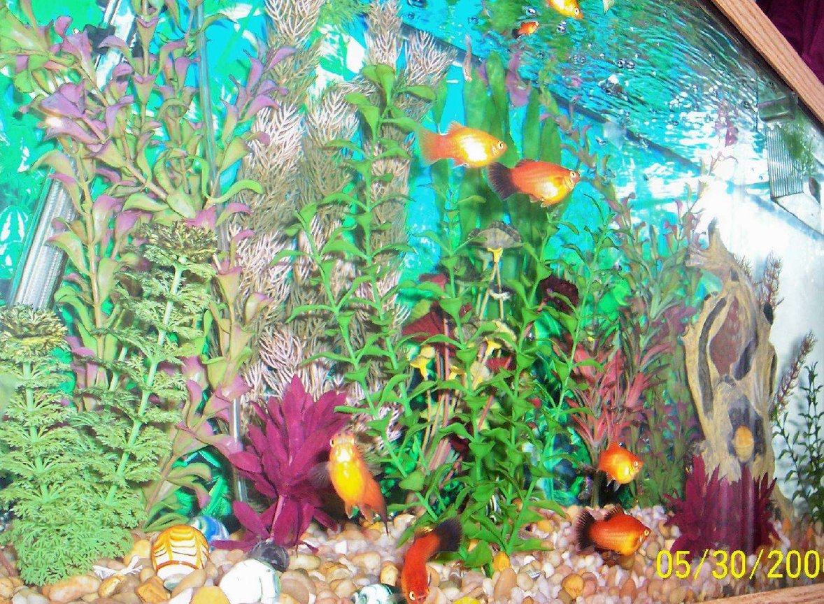 80 gallons freshwater fish tank (mostly fish and non-living decorations) - My 30 gallon tropical community tank.
