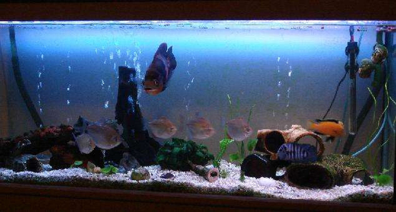 60 gallons freshwater fish tank (mostly fish and non-living decorations) - When the oscar goes I'll give it a facelift...