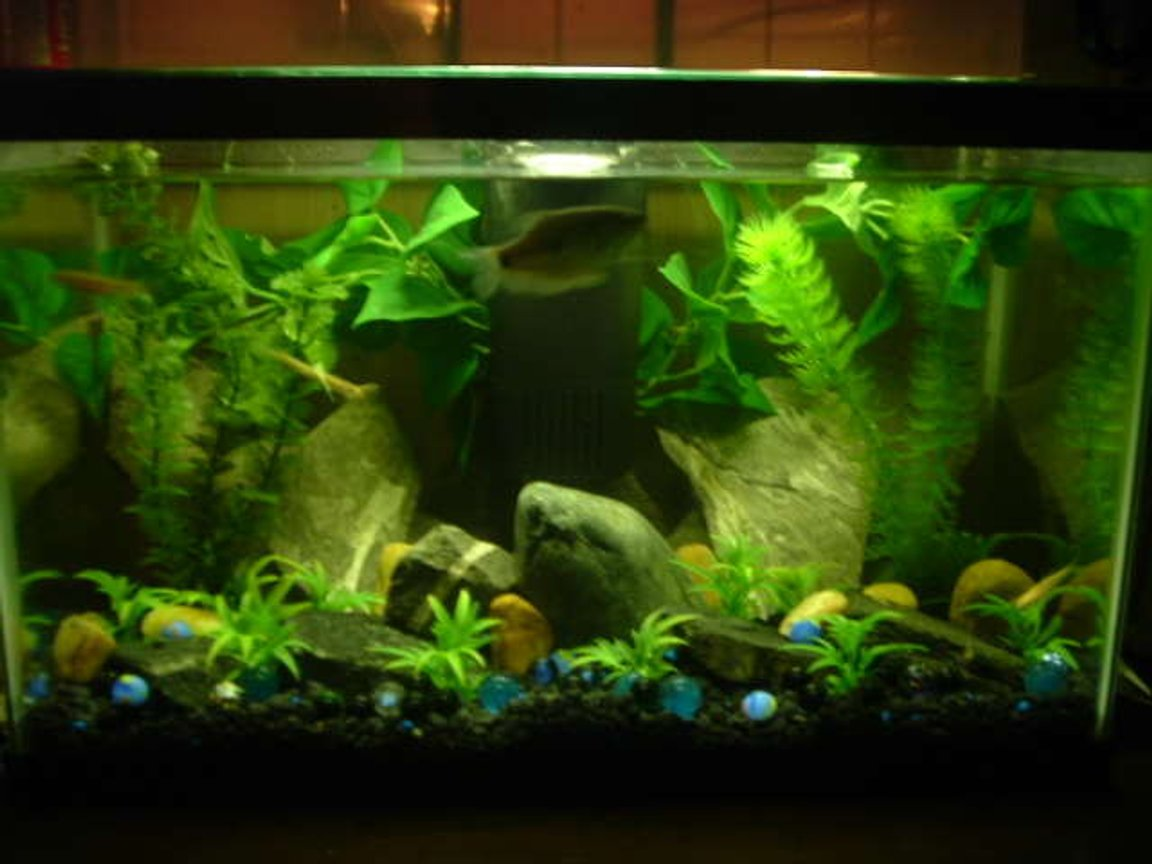 "freshwater fish tank (mostly fish and non-living decorations) - A 10 gal fish tank we have. New Home to Our 3 year old Blue Gouram named ""Old Blue"" & 3-Rosy Red Fish"