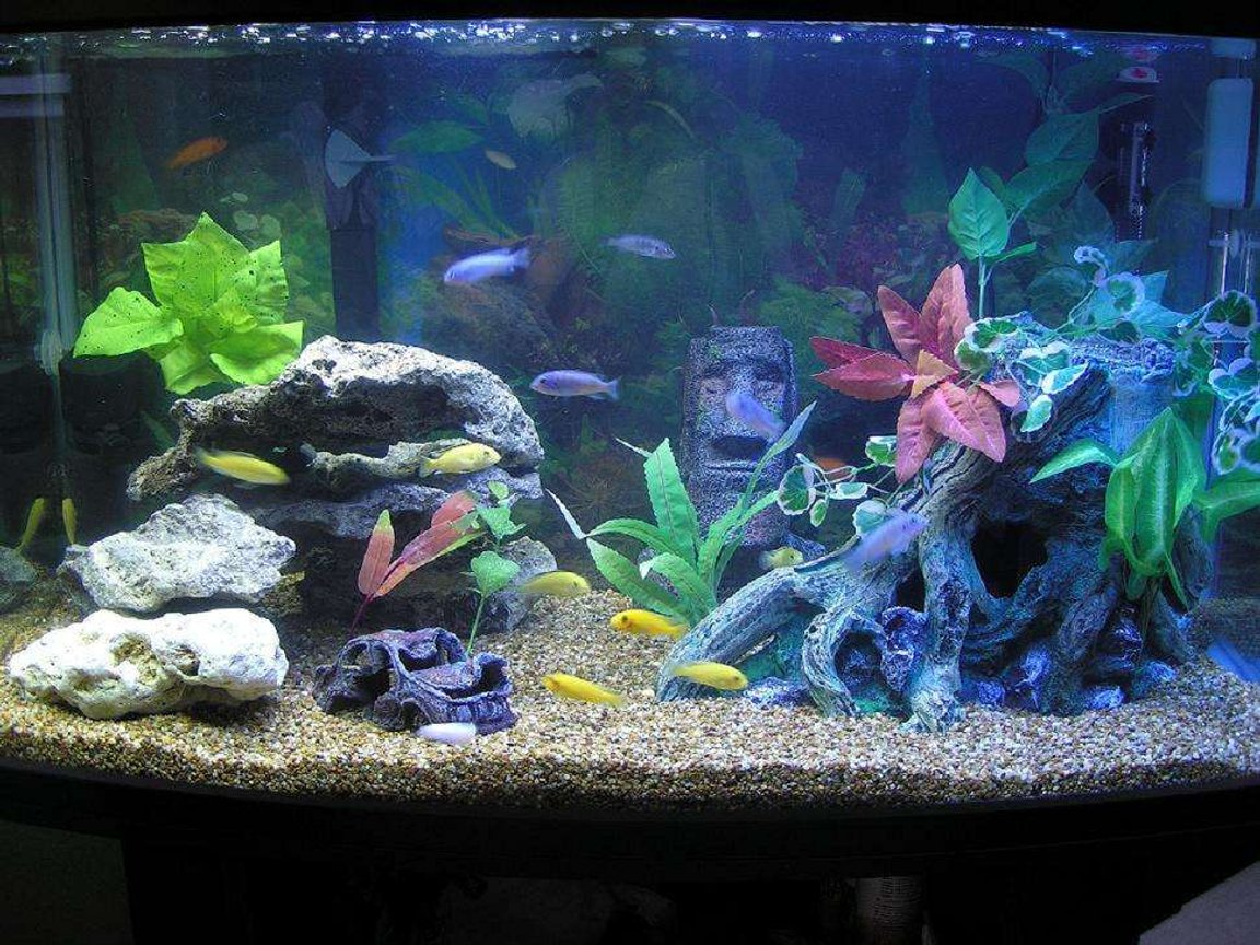 "60 gallons freshwater fish tank (mostly fish and non-living decorations) - cichlid tank-55 gal. ""ParaDome"" (Japanese brand bowfront tank w/ rounded corners), Filtration- penguin 350 biowheel, 300w heater and 2x penguin 660 power heads for circulation and standard flourecent lights"