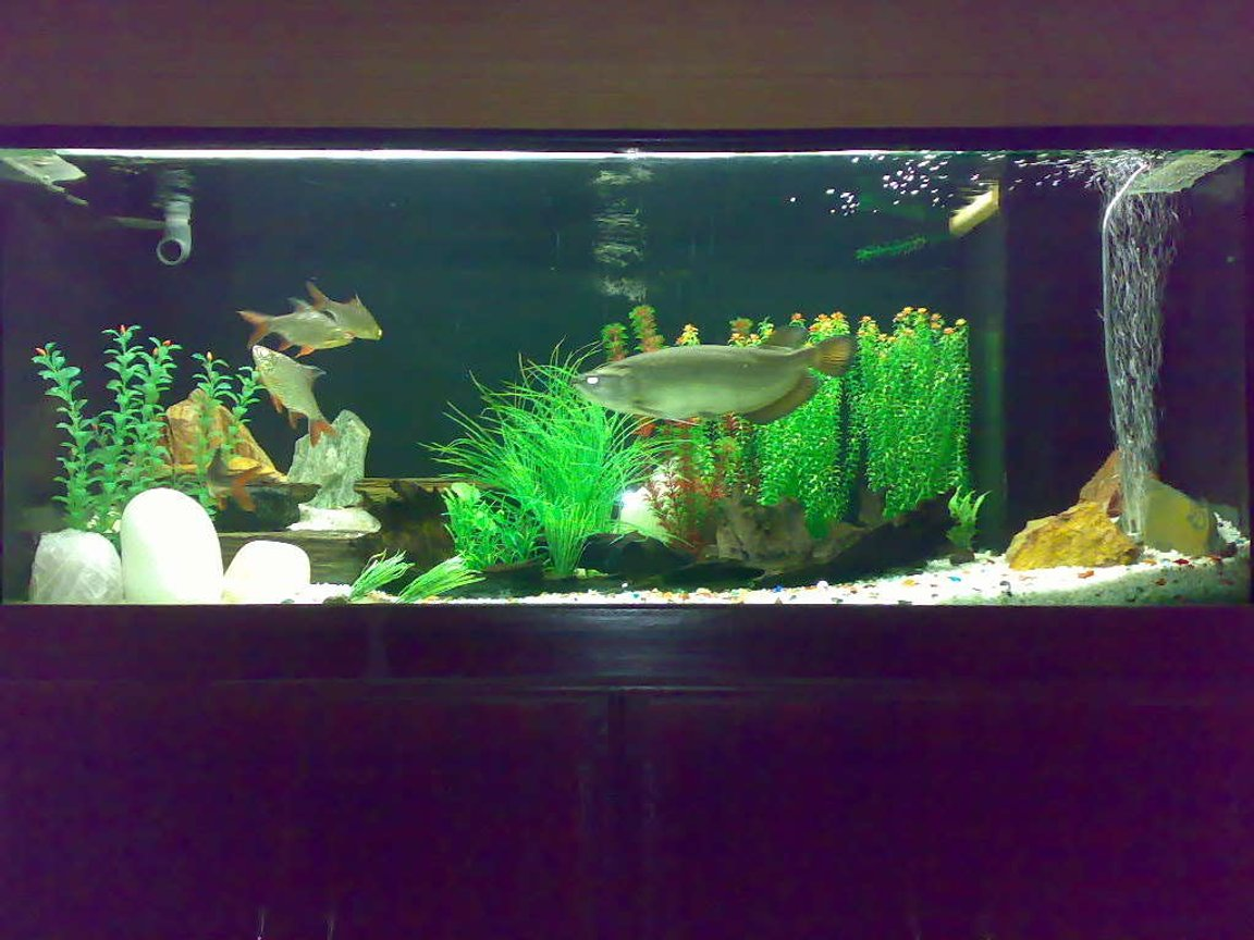 260 gallons freshwater fish tank (mostly fish and non-living decorations) - Arowana Tank with four Tinfoils
