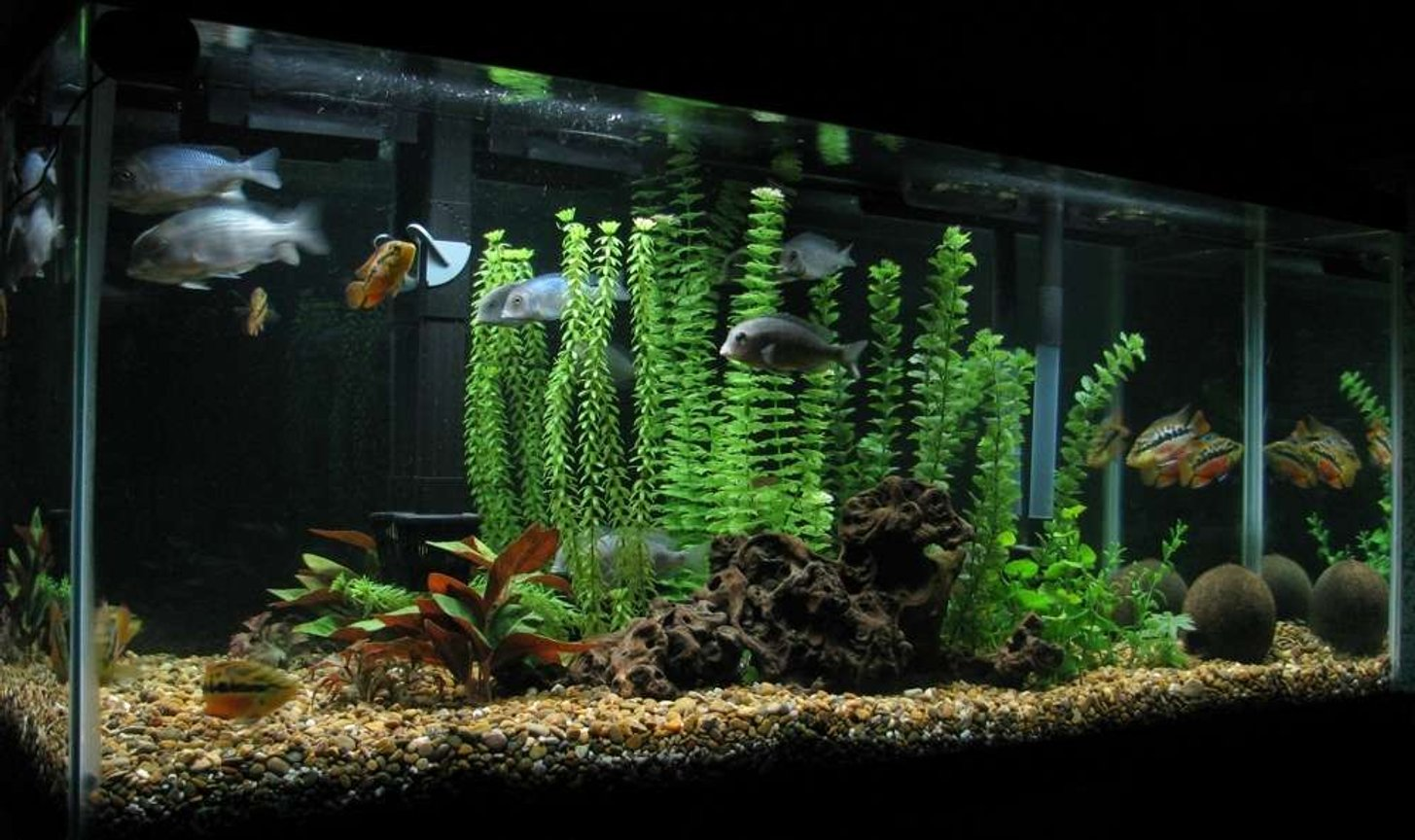 55 gallons freshwater fish tank (mostly fish and non-living decorations) - principalmente ciclidos
