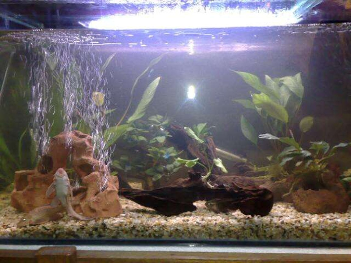 70 gallons freshwater fish tank (mostly fish and non-living decorations) - 4ft tank 2 gold plecos 1 clown pleco 4 geophagus steindachneri 1 sailfin pleco 3 albino bristlenose 2 chocolate cichlid