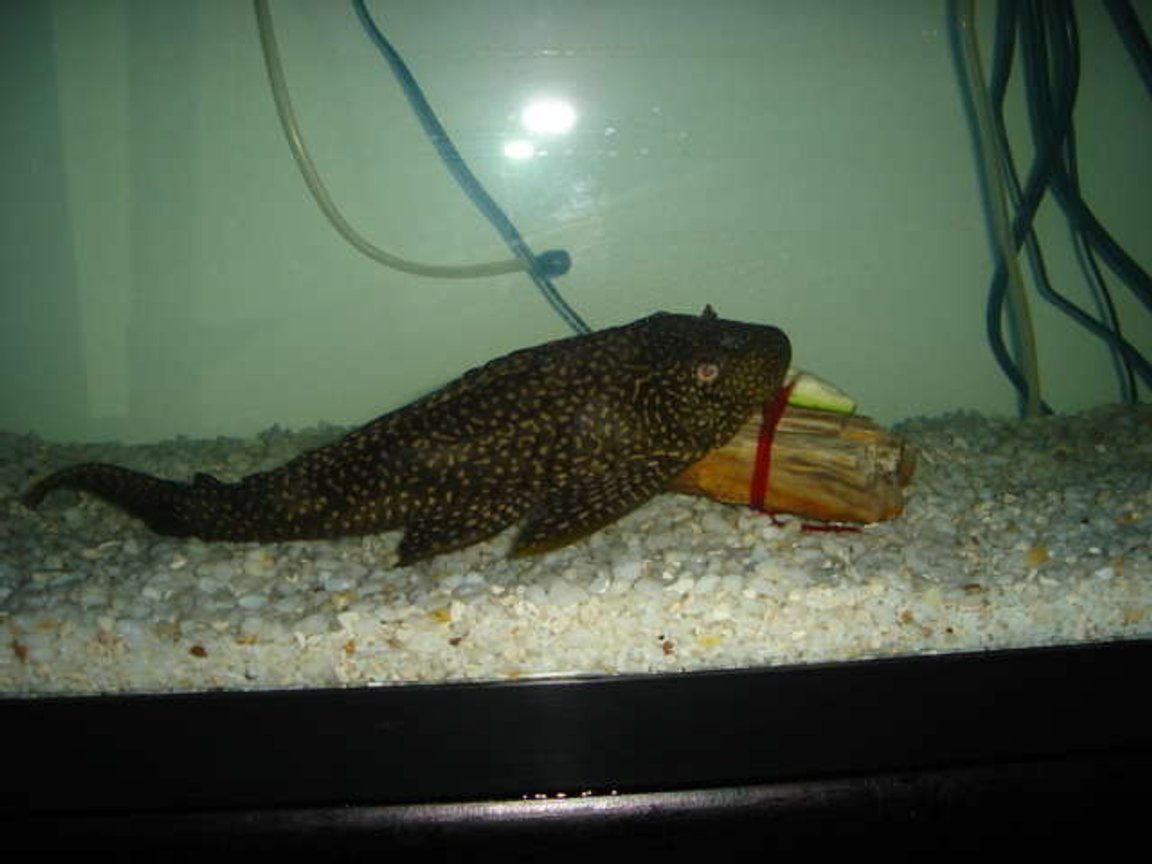 100 gallons freshwater fish tank (mostly fish and non-living decorations) - my large Plecostomus this is in my 55 gallon fresh water tank . Here he is eating Zucchini tied to a rock He loves it .