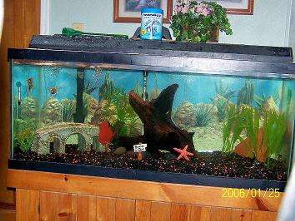 75 gallons freshwater fish tank (mostly fish and non-living decorations) - Freshwater Angels