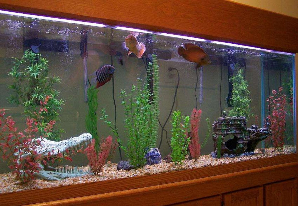 freshwater fish tank (mostly fish and non-living decorations) - 150 gallon Oscar tank