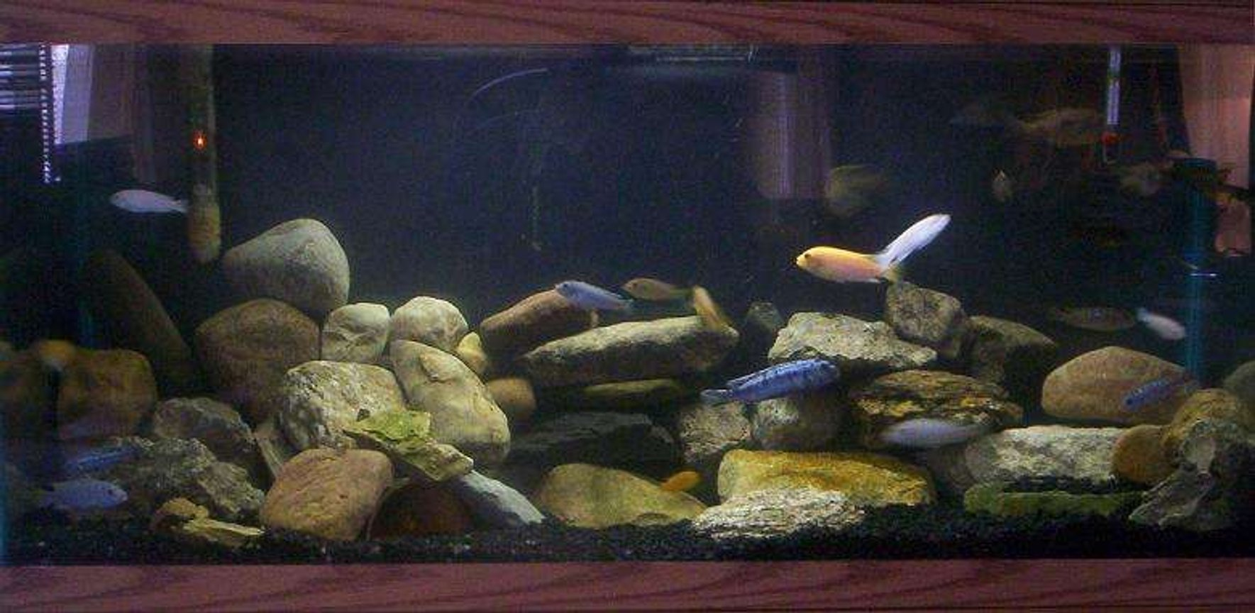 90 gallons freshwater fish tank (mostly fish and non-living decorations) - African Mbuna Habitat