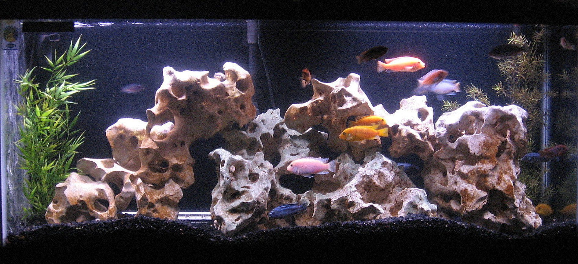 55 gallons freshwater fish tank (mostly fish and non-living decorations) - Our 55 Gallon Mixed Mbuna Tank