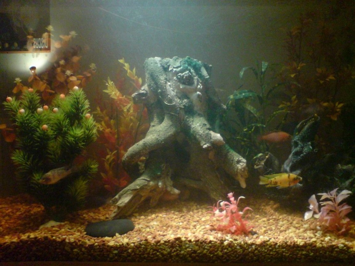100 gallons freshwater fish tank (mostly fish and non-living decorations) - cichlide tank