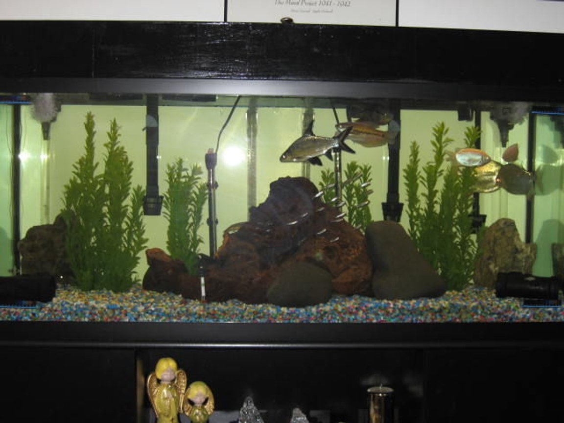 125 gallons freshwater fish tank (mostly fish and non-living decorations) - change all of the decor in my tank. did it because i added some eels and knife fish along with all the other fish 2 pacu 18 rummy nose tetras 1 snake skined 2 kissing 4 plecos 1 bala shark 2 peacock eels and black knife fish