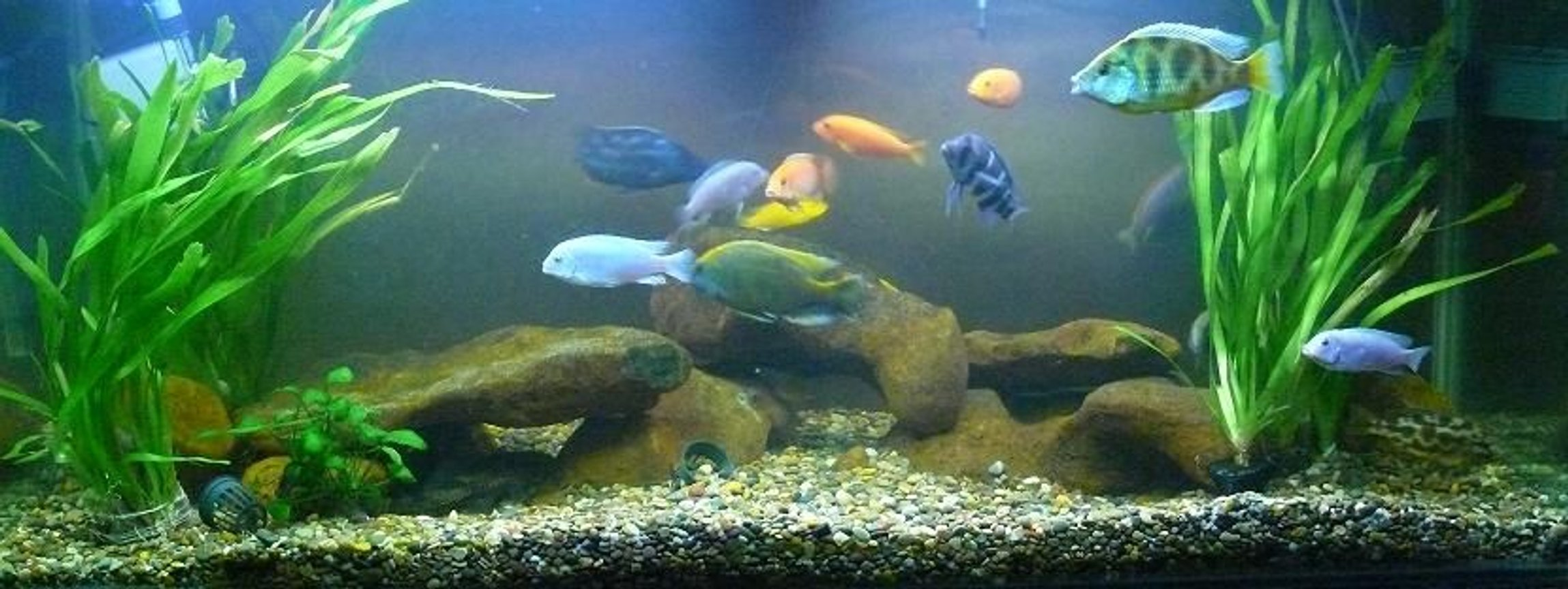 125 gallons freshwater fish tank (mostly fish and non-living decorations) - My 125G Malawi tank