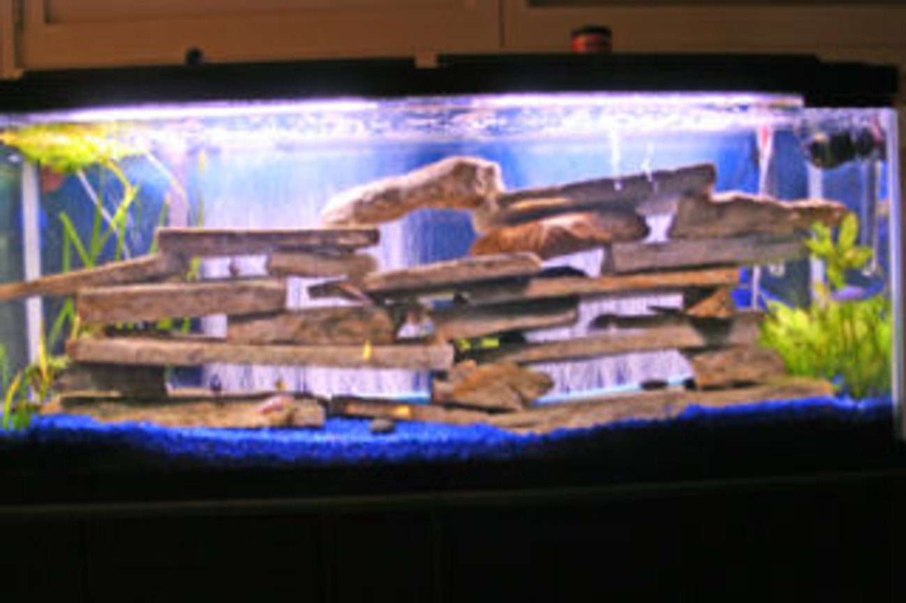 55 gallons freshwater fish tank (mostly fish and non-living decorations) - 55 Gallon Cichlid Tank