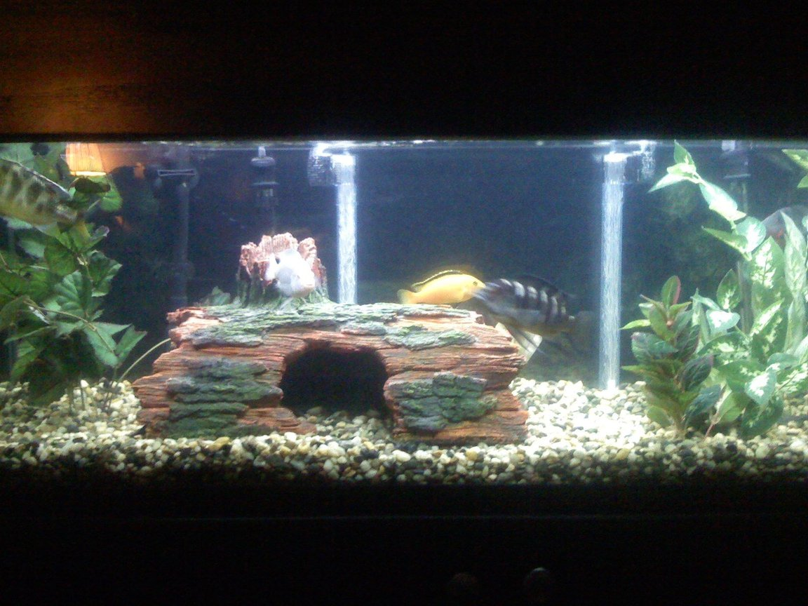 60 gallons freshwater fish tank (mostly fish and non-living decorations) - a 60 gallon tank that contains 10 total fish, 3 south american and 6 african cichlids and one placostamous, two filters used a canister and undergravel filter