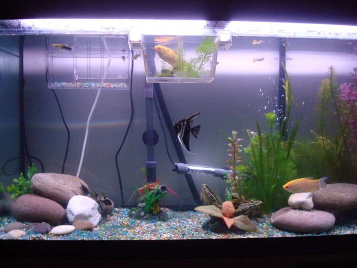 freshwater fish tank (mostly fish and non-living decorations) - 200 litre roma fish tank
