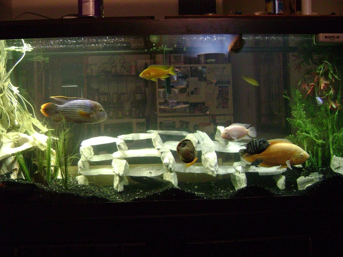 120 gallons freshwater fish tank (mostly fish and non-living decorations) - Some Would Say This Is A Big NO NO Green terror, Oscar, Convicts, Blue colbolt African, yellow Lab African, Cherry Red Zebra African, Frontosa, Sunshine Peacock African, Galaxy Pleco, Gold Nugglet Pleco Had Them This Way For 2 Years No ones Dead Yet MARBLE AND UTAH ICE