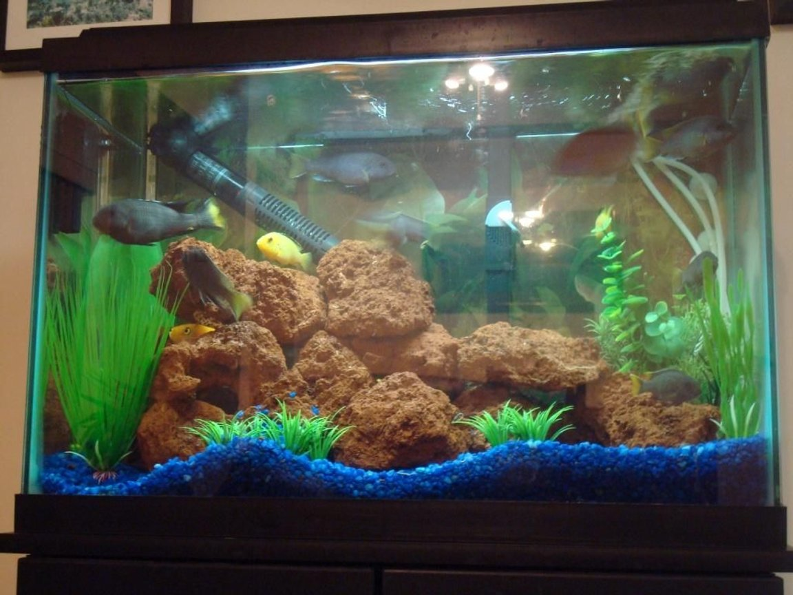 20 gallons freshwater fish tank (mostly fish and non-living decorations) - My 20 Gallon Freshwater Chiclid Tank