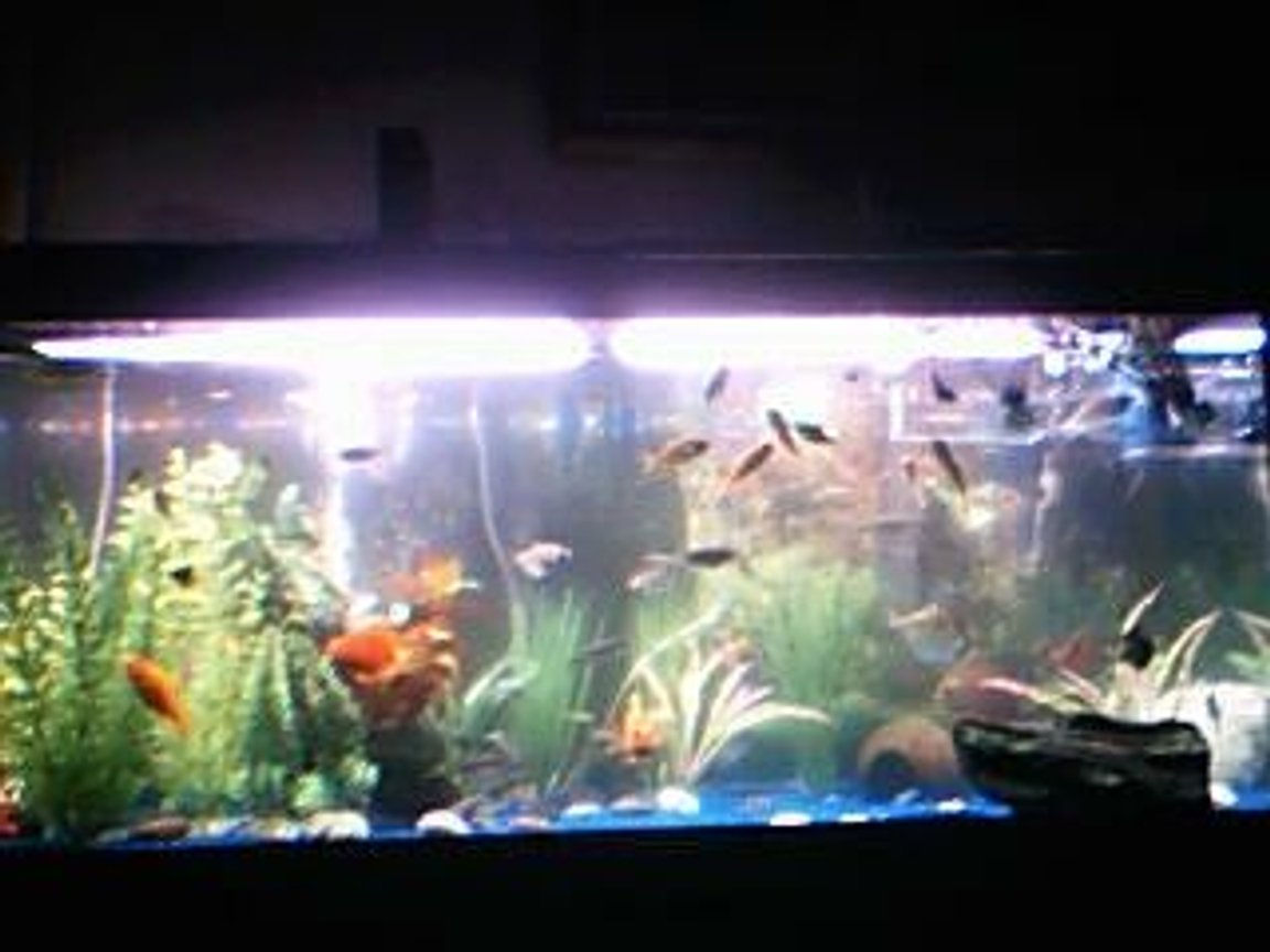 75 gallons freshwater fish tank (mostly fish and non-living decorations) - My 75 gallon freshwater tank