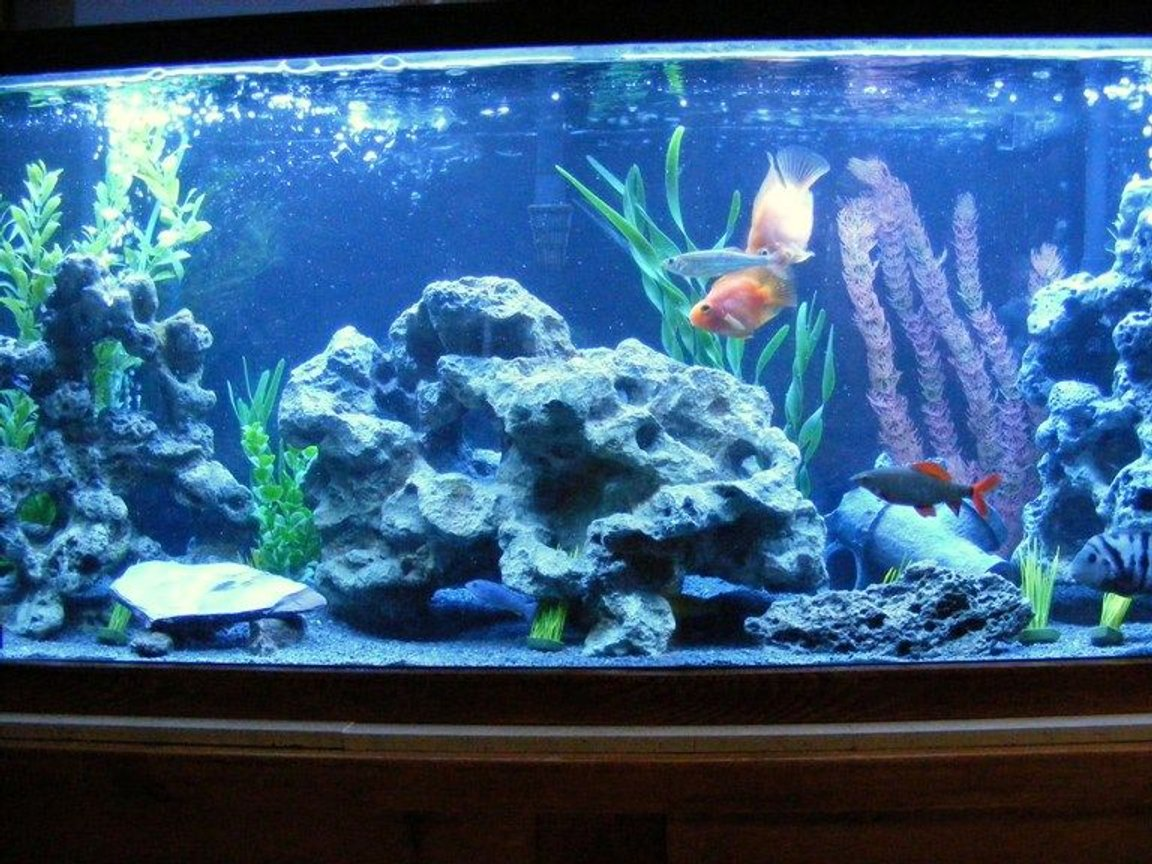 55 gallons freshwater fish tank (mostly fish and non-living decorations) - Happy Cichlid Community :P